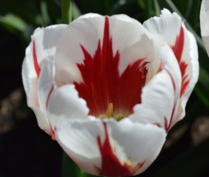 close-up of the leaf shape in the centre of the Canada 150 tulip