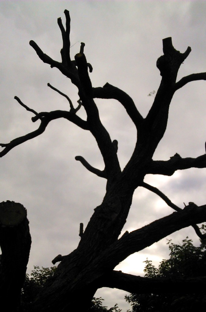 Silhouette of a harshly pruned tree